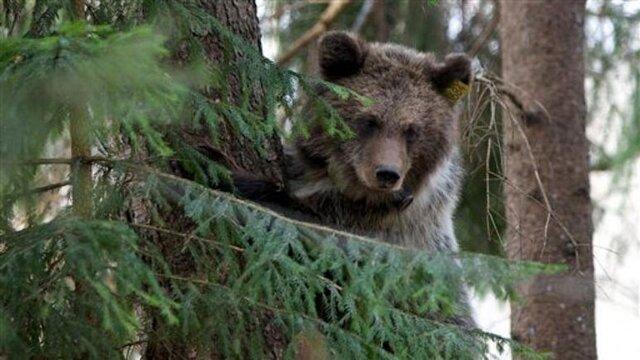وجود خرس در اطراف زیستگاه امری طبیعی است