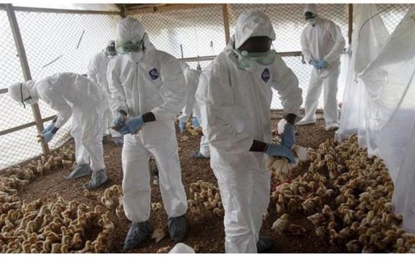 گزارش دهی به موقع، در مهار بیماری آنفولانزای پرندگان موثر است